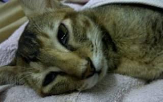 Перитонит у кота лечение