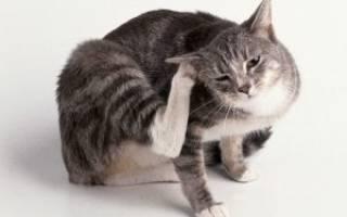Кошка чешет уши до крови чем лечить