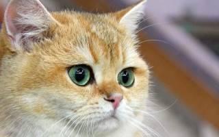 Вирусный конъюнктивит кошек лечение