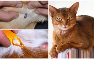Лечение кота после укуса клеща