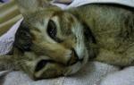 Обезвоживание у кошки признаки и лечение