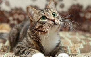 Нефрит у кота лечение
