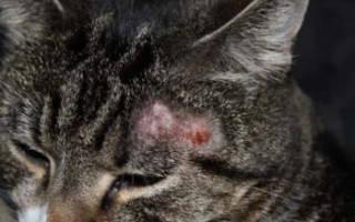 Чем лечить грибок у кошек
