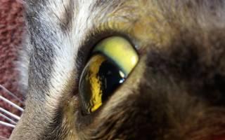 Признаки болезни печени у кота