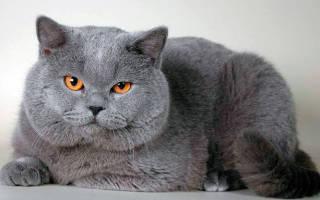 Британские кошки уход кормление