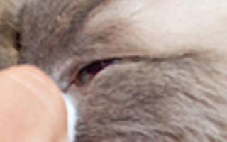 Конъюнктивит у кошки чем лечить