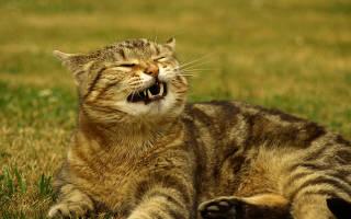 У кота сопли и кашель чем лечить