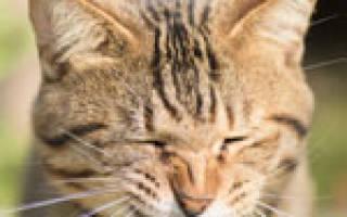 Кошка чихает причины чем лечить