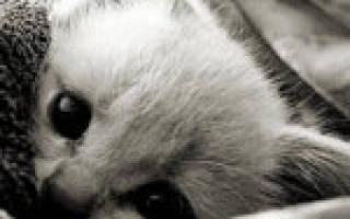 Грипп у кошек симптомы лечение
