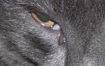 Гной в глазу у кота чем лечить