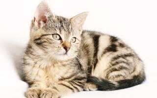 Дуоденит у кошки лечение