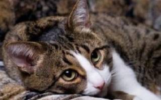 Кошка получили ожог химический языка чем лечить
