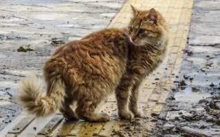 Хламидиоз у кошек лечение препараты курс лечения