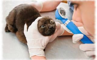 Глаукома у кошек симптомы и лечение