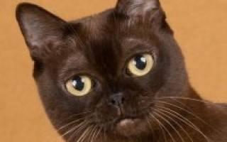 Болезни бурманских кошек