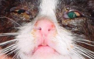 У кота закисает глаз чем лечить