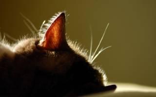 У кота гематома на ухе лечение