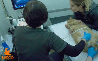 Гинекологические болезни кошек