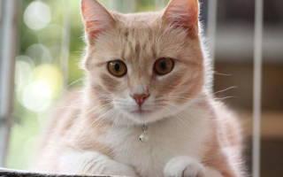 Отек легких у кошек симптомы и лечение