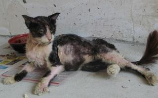 Аскариды у кошек симптомы и лечение
