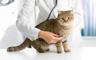 Кастрация кота подготовка и уход