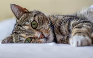 Как лечить глаукому в домашних у кошек