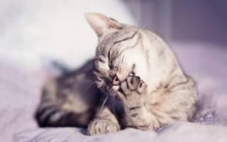 Разрыв связок у кошки лечение