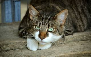 Болезни шеи у кошек