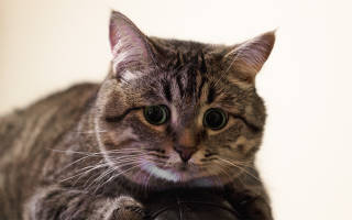 Поликистоз кошек лечение в клинике