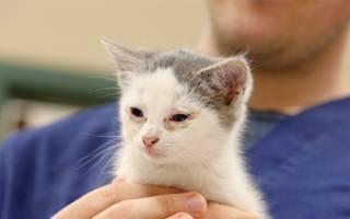 Чем лечить гнойный конъюнктивит у кошки