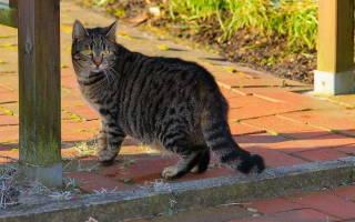 Плеврит у котов лечение