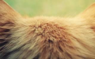 Лечение опухолей ушей у кошек