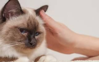 Гнойный отит у котов чем лечить