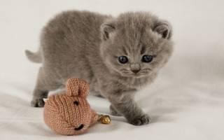 Шотландский кот уход и кормление