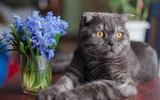 Болезнь суставов у вислоухих кошек