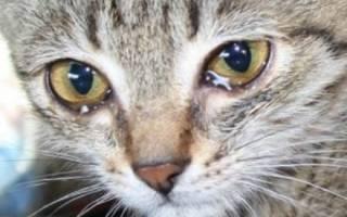 Лечение коронавируса у кошек препараты для лечения
