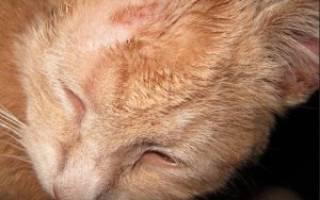 Лишай кошки эффективное лечение