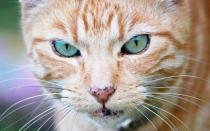 Болячки на носу у кота лечить как