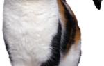 Заразные болезни кошек передающиеся человеку