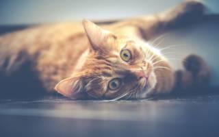 Лишай у кошек спрей для лечения