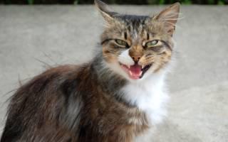 У кошки темная моча чем лечить