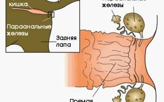 Параанальное воспаление у кошки лечение