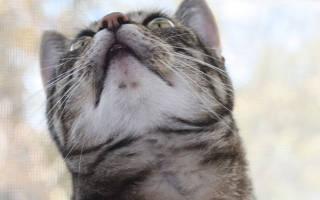 Черный подбородок у кота лечение