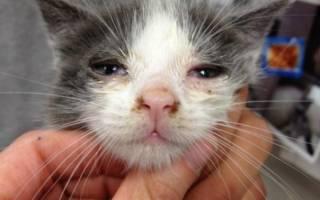 Лечение микоплазмоза у кошек схема лечения