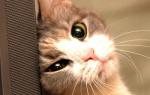 Чем лечить кровотечения прямой кишки у кошки