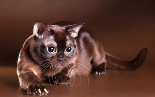 Генетические болезни бурманских кошек