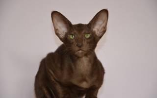 Болезни ориентальных кошек
