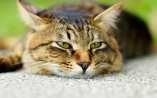 Понос у кота причины и лечение коричневый