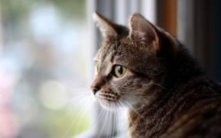 Гайморит у кошек симптомы лечение