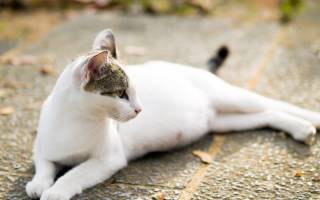 Болезни кошек вздутие живота